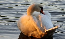 A Little Further Afield – Swans and Hares at Welney