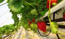 Bury Lane Farm Shop- British Strawberries