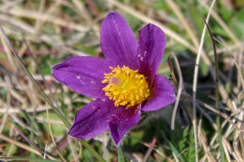 Pasque Flowers Walk